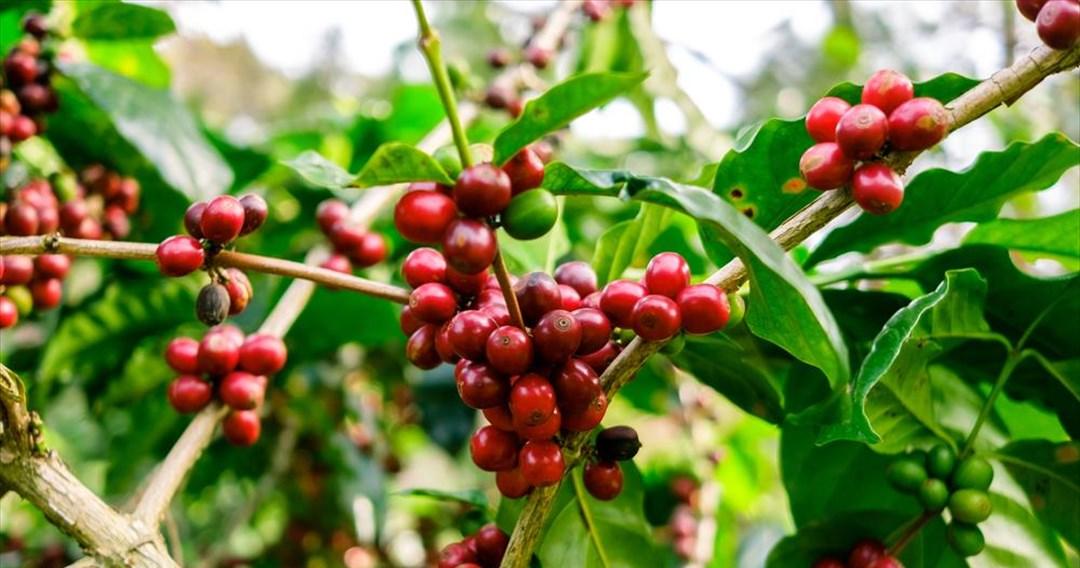 Οι μεταλλάξεις της «σκουριάς» απειλούν τον καφέ