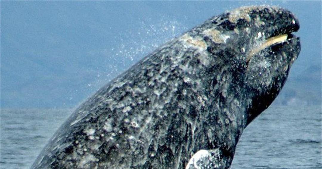 Ρεκόρ μετανάστευσης στον κόσμο των θηλαστικών από μια γκρι φάλαινα