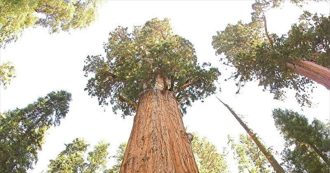Μάχη για να σωθεί το μεγαλύτερο δέντρο του πλανήτη